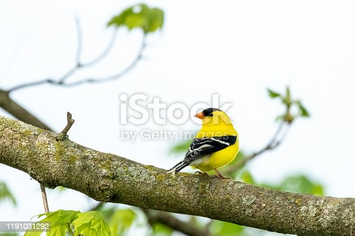 A brilliantly colored male American Goldfinch perches in a Maple Tree on a cool spring morning.
