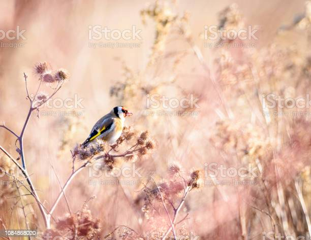 Photo of Goldfinch in the sun
