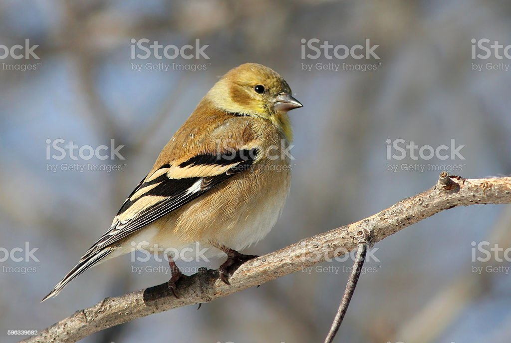 Goldfinch in winter royalty-free stock photo