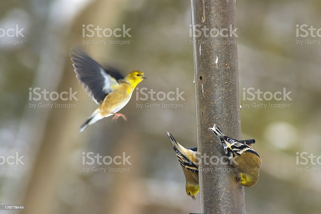 Goldfinch landing at feeder (motion blur in flying bird) stock photo