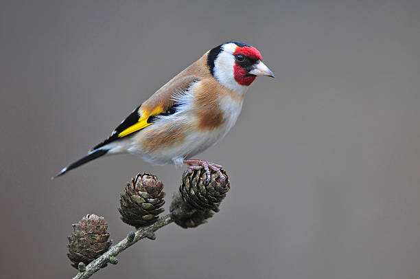 Goldfinch on a branch Photo of goldfinch standing on a branch gold finch stock pictures, royalty-free photos & images