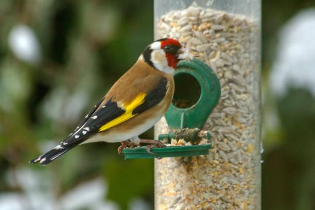 Goldfinch on a silo bird feeder stock photo
