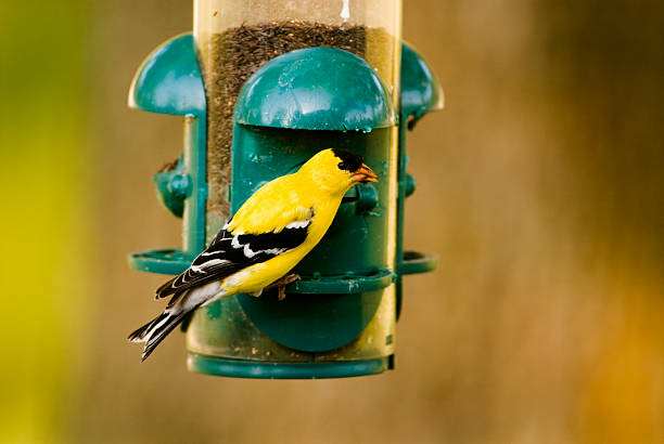 Goldfinch on Feeder  american goldfinch stock pictures, royalty-free photos & images