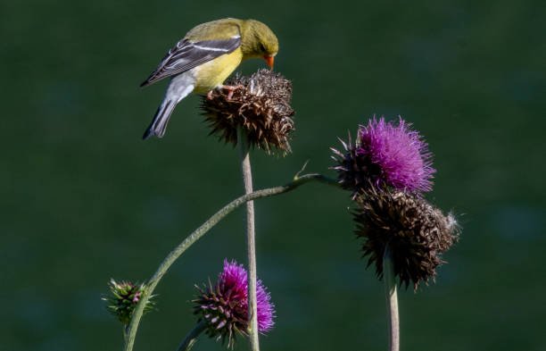Goldfinch on Thistle A goldfinch feeds on a Canada Thistle seedhead framed by gray bokeh background gold finch stock pictures, royalty-free photos & images