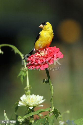 A bright yellow male gold finch perched atop of dark coral zinnia.