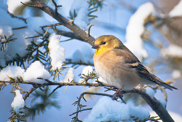 Goldfinch Perched in the Snow Goldfinch Perched in the Snow american goldfinch stock pictures, royalty-free photos & images