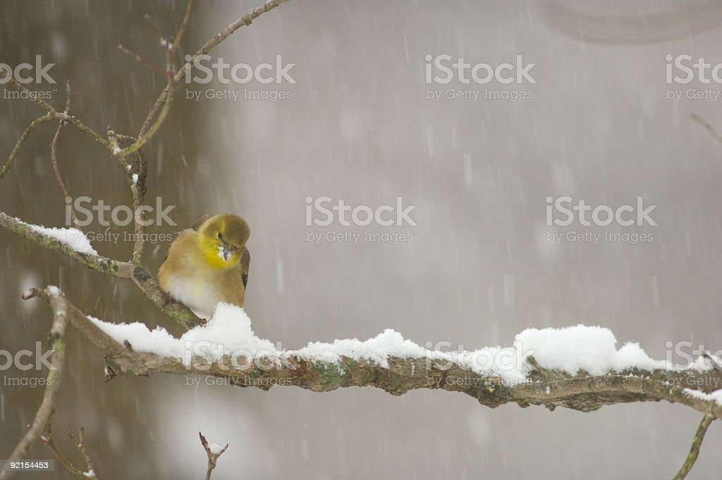 Goldfinch perched on a stick during a heavy snowstorm royalty-free stock photo