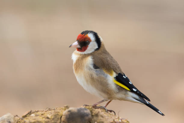 Goldfinch perched on the ground A European Goldfinch (Carduelis carduelis) standing on bare earth against a blurred natural background, Yorkshire, UK gold finch stock pictures, royalty-free photos & images