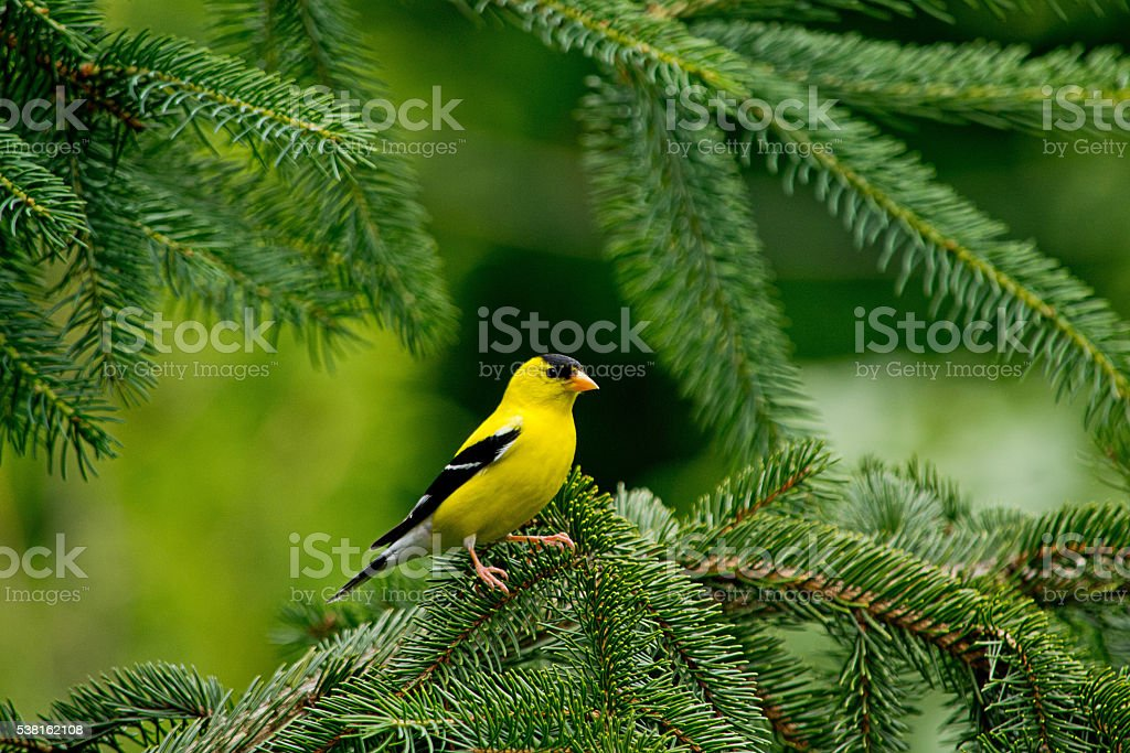 Goldfinch perches on a pine tree branch stock photo