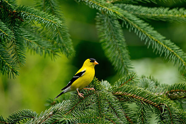Goldfinch perches on a pine tree branch A male American Goldfinch perches on a pine tree branch, horizontal,copy space, outdoors shoot, Canada american goldfinch stock pictures, royalty-free photos & images