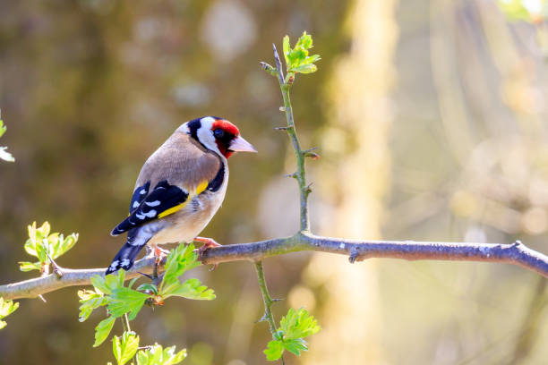 Goldfinch Goldfinch perched on a tree branch gold finch stock pictures, royalty-free photos & images