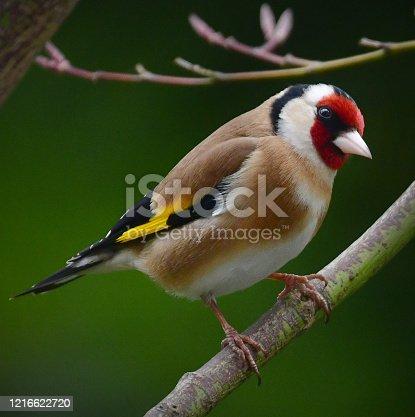 A goldfinch in an English Garden in spring