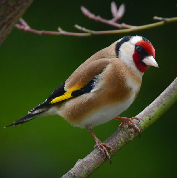 Goldfinch A goldfinch in an English Garden in spring finch stock pictures, royalty-free photos & images
