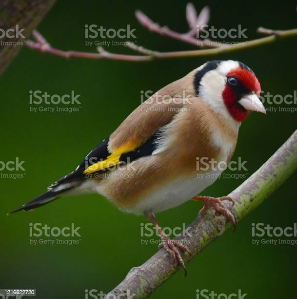 Photo of Goldfinch