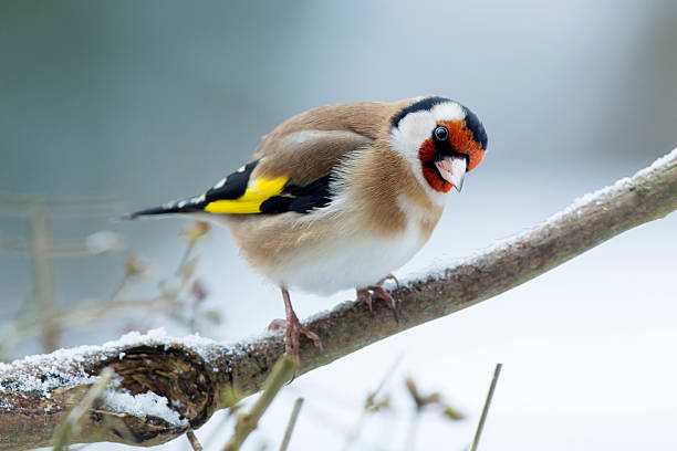 Goldfinch (Carduelis-carduelis)  gold finch stock pictures, royalty-free photos & images