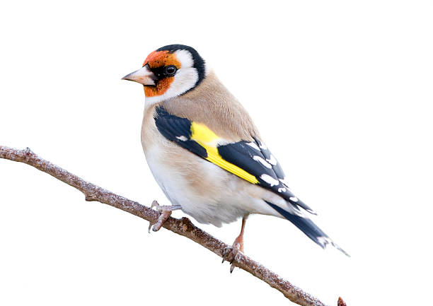Goldfinch (Carduelis-carduelis)  finch stock pictures, royalty-free photos & images