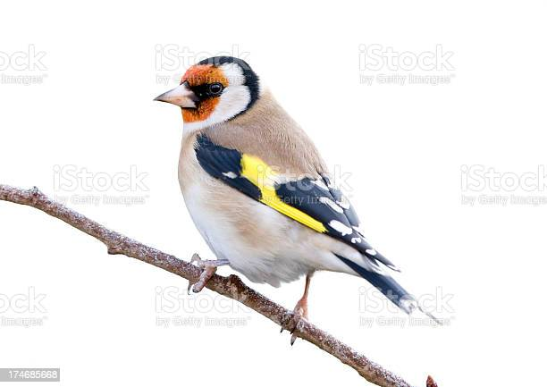 Photo of Goldfinch (Carduelis-carduelis)