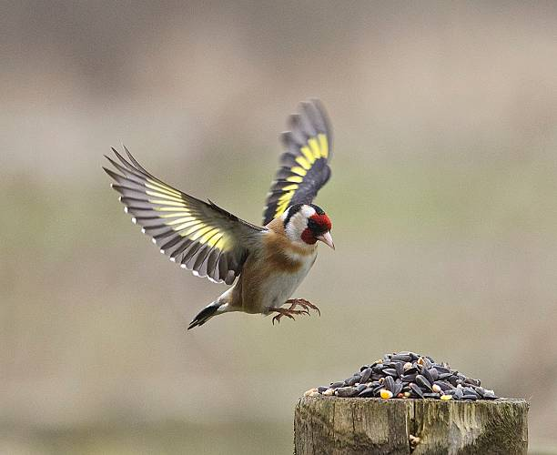 Goldfinch Goldfinch with outstretched wings about to land on a post gold finch stock pictures, royalty-free photos & images