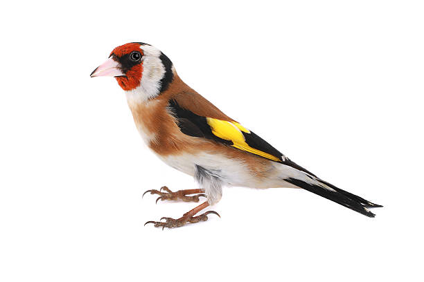 goldfinch goldfinch on a white background gold finch stock pictures, royalty-free photos & images