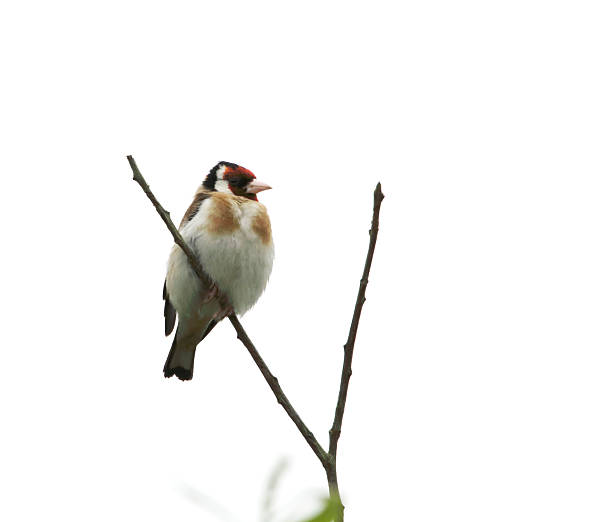Goldfinch (Carduelis carduelis) stock photo