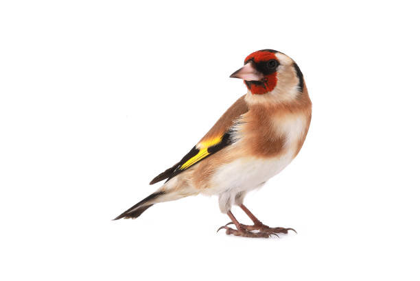 goldfinch goldfinch isolated on a white background, studio shot gold finch stock pictures, royalty-free photos & images