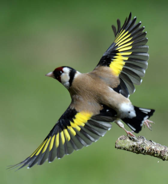 Goldfinch Goldfinch gold finch stock pictures, royalty-free photos & images