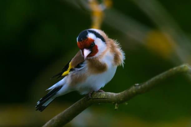 Die goldfinch  – Foto