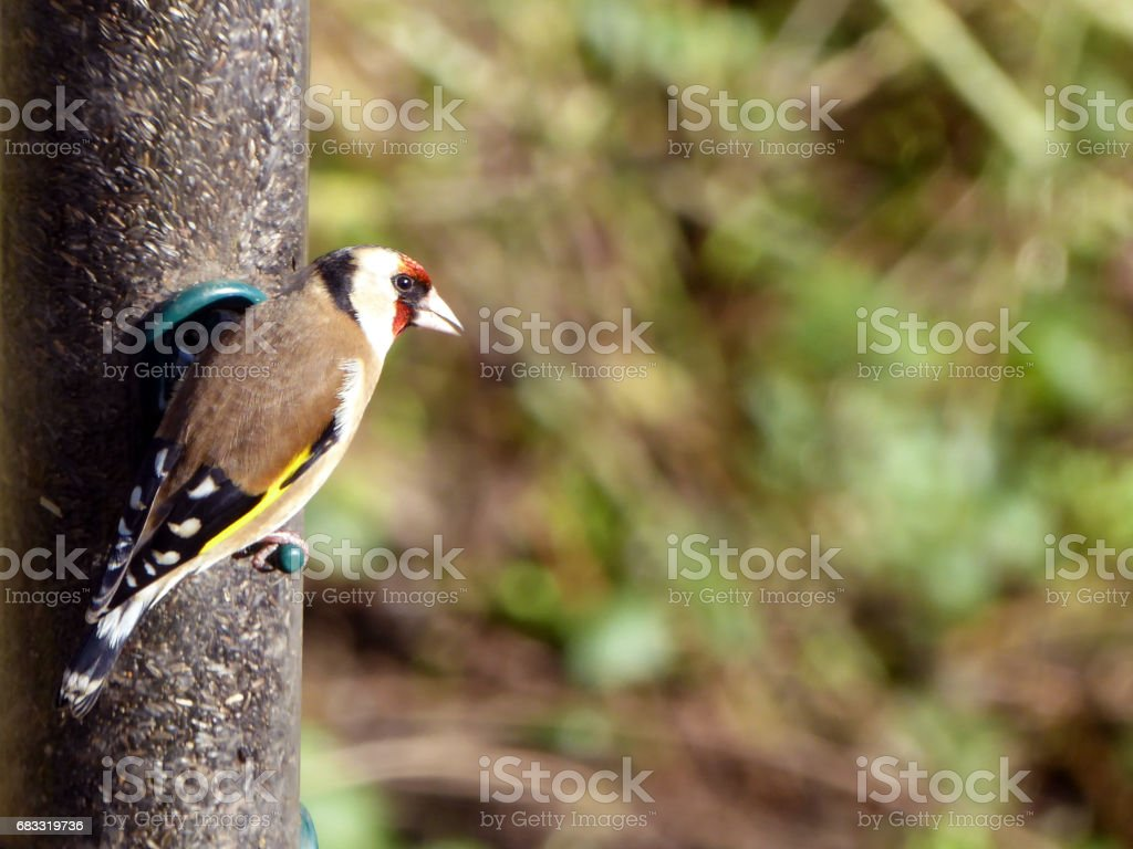 Goldfinch foto stock royalty-free