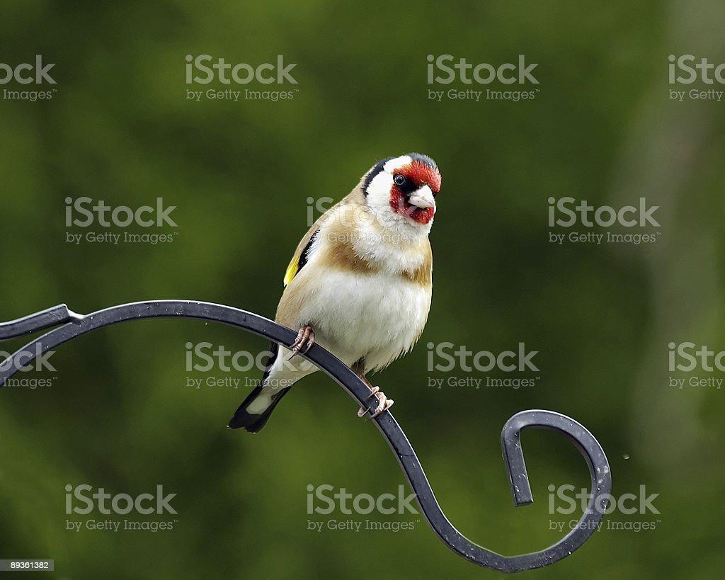 Goldfinch  (Carduelis-carduelis) royaltyfri bildbanksbilder