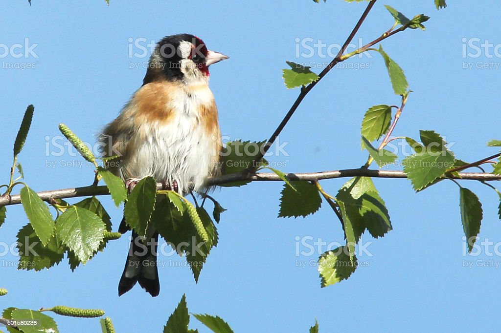 Goldfinch sitting in a birch tree blue sky behind stock photo