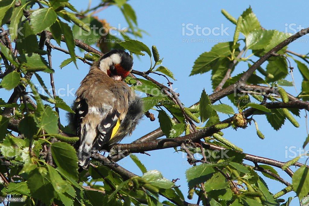 Goldfinch sitting in a birch tree preening blue sky behind stock photo