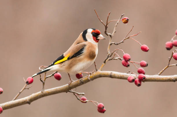 Goldfinch sitting on stick Goldfinch sitting on stick gold finch stock pictures, royalty-free photos & images