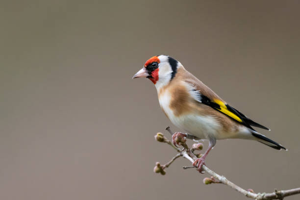 Goldfinch winter profile portrait Single goldfinch (Carduelis carduelis) isolated on clean background. UK, December gold finch stock pictures, royalty-free photos & images
