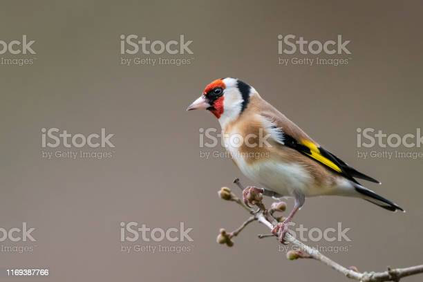 Photo of Goldfinch winter profile portrait