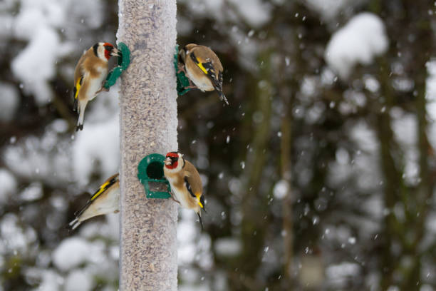 Goldfinches (Carduelis carduelis) on feeder in winter snow stock photo