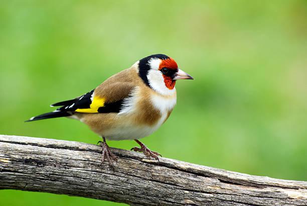 Goldfinh stock photo