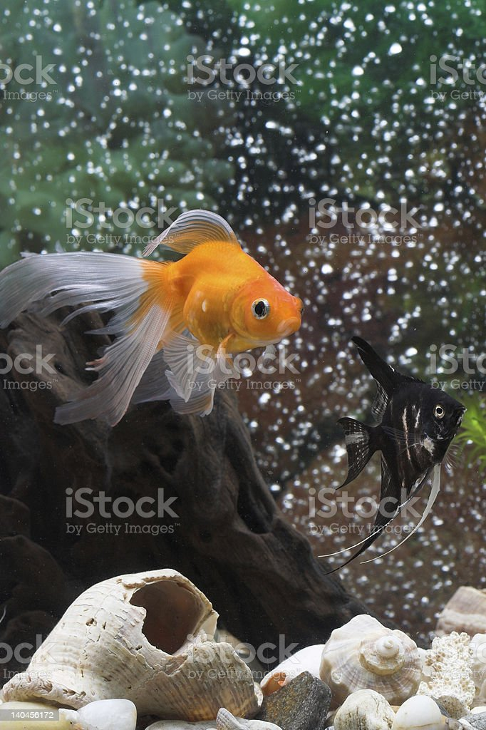 goldfish and angelfish royalty-free stock photo
