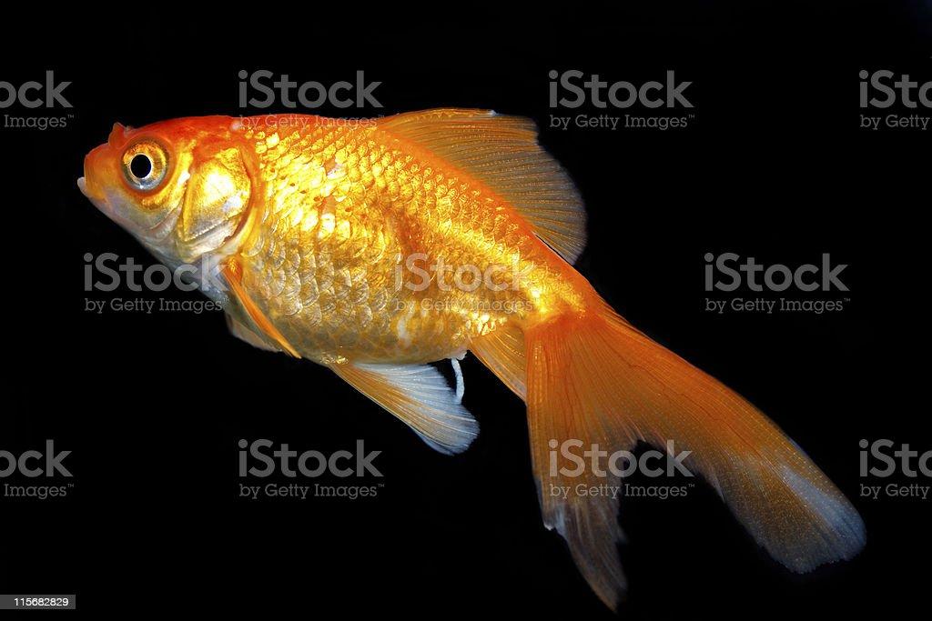 goldfish and black background royalty-free stock photo
