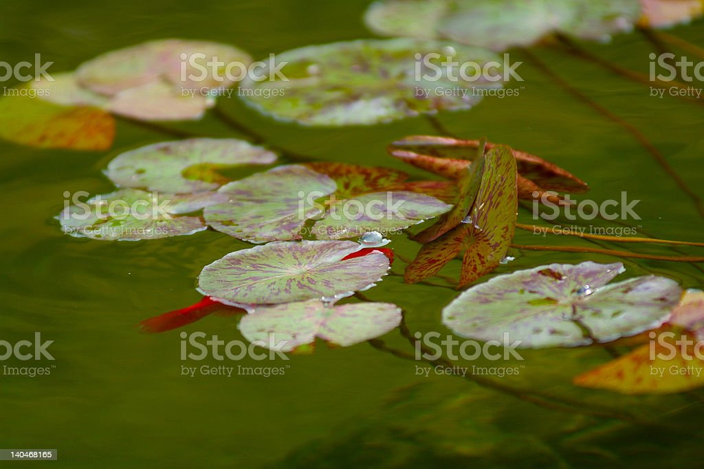 Goldfish and Lillypad stock photo