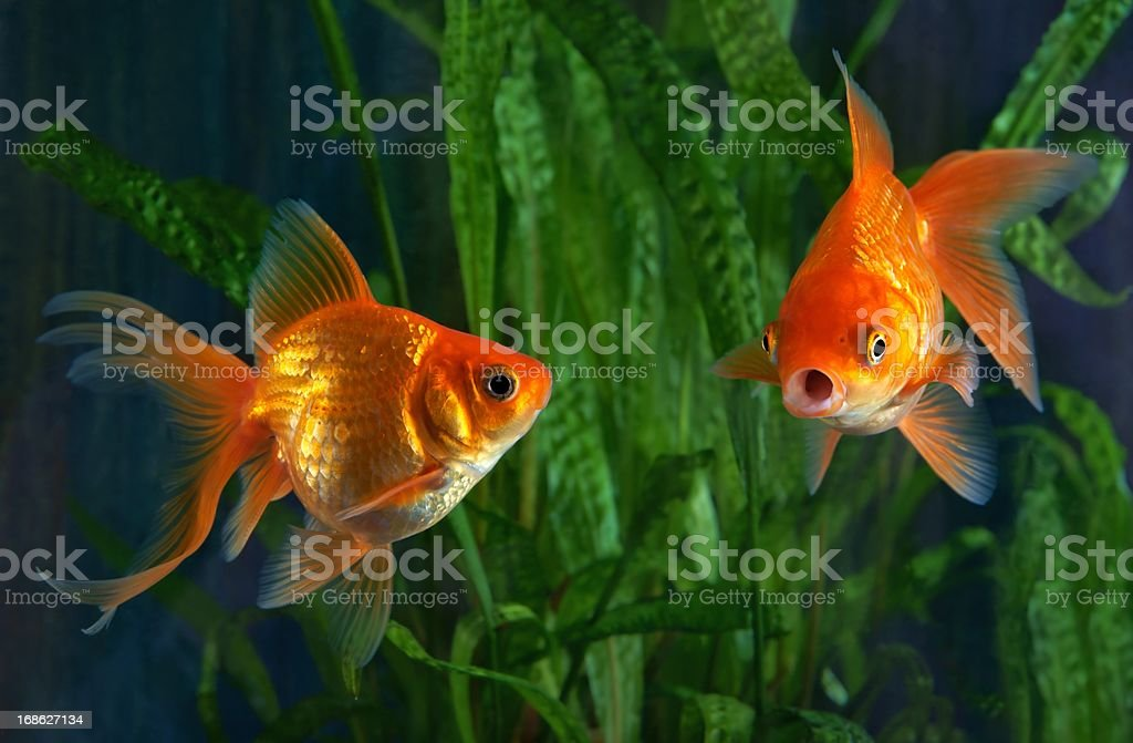 Goldfish, aquarium, a fish on the background of aquatic plants stock photo