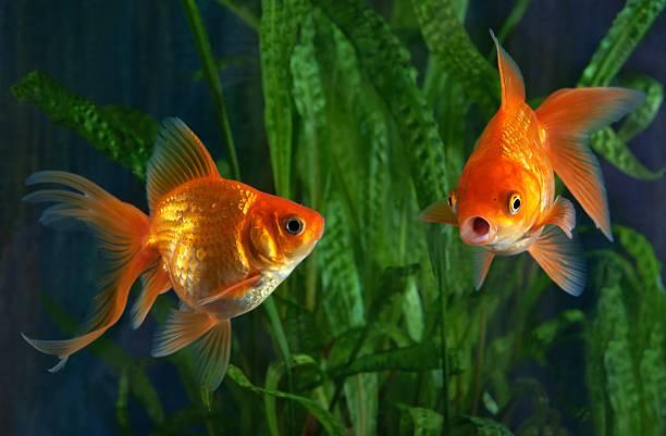 poisson rouge, de l'aquarium, un poisson sur le fond de plantes aquatique - poisson rouge photos et images de collection
