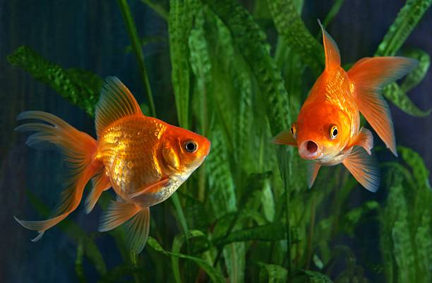 Goldfish, aquarium, a fish on the background of aquatic plants stock photo
