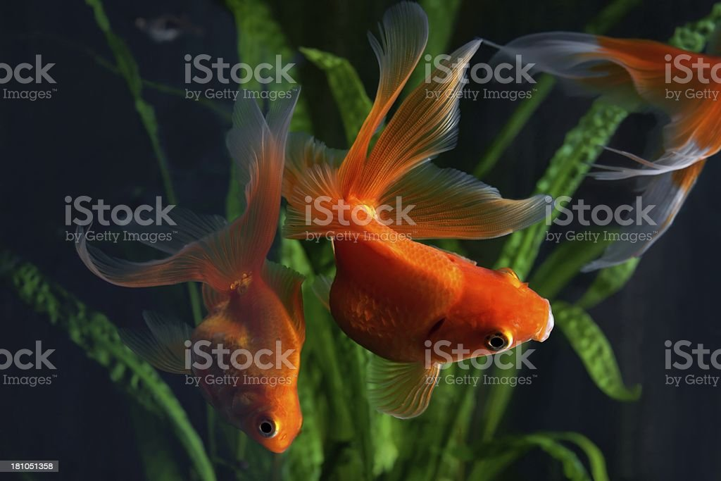 Goldfish, aquarium, a fish on the background of aquatic plants royalty-free stock photo