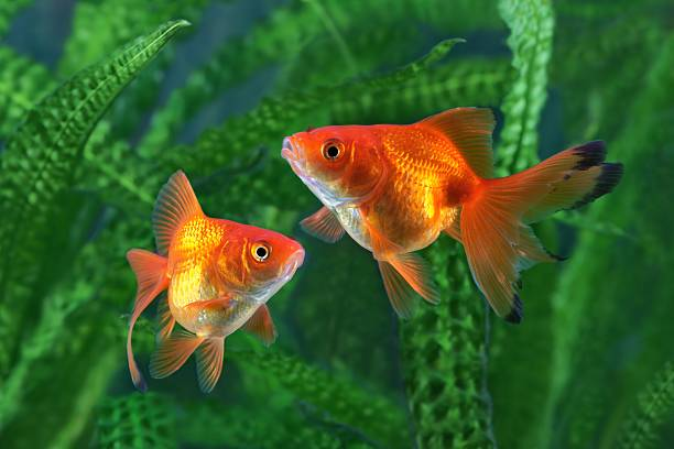 poisson rouge, de l'aquarium - poisson rouge photos et images de collection