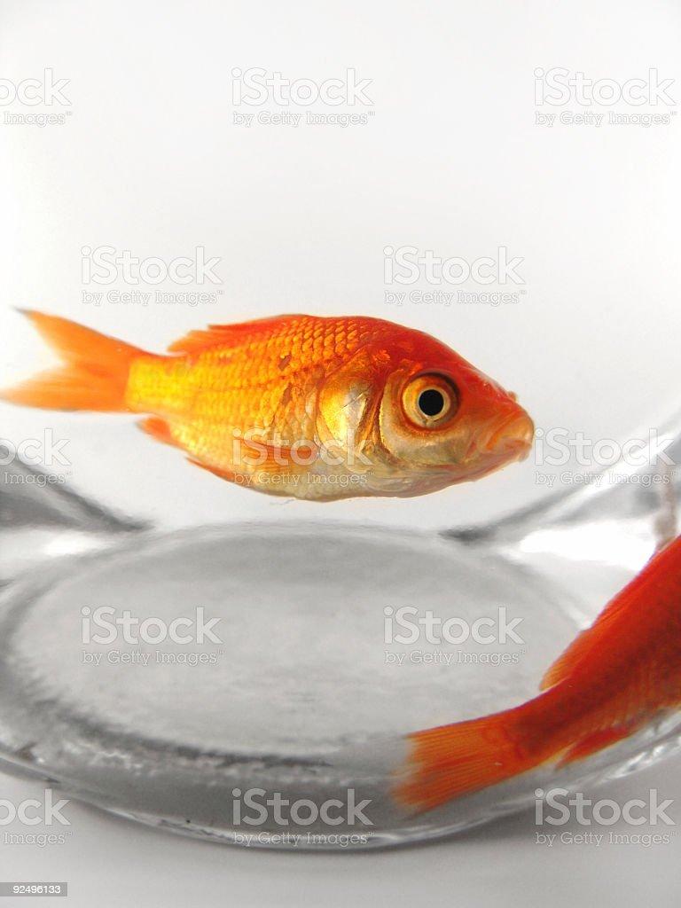 Goldfish Close-Up royalty-free stock photo
