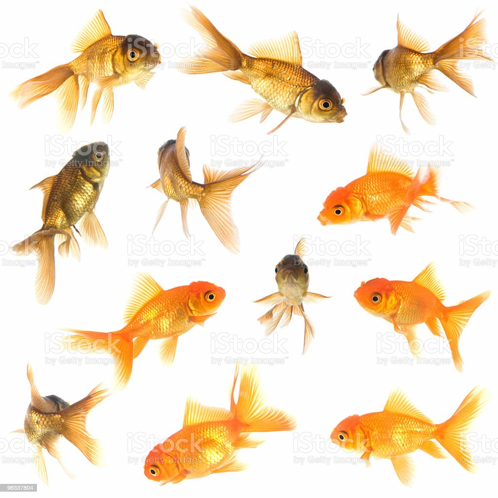 XXL Goldfish Collection royalty-free stock photo