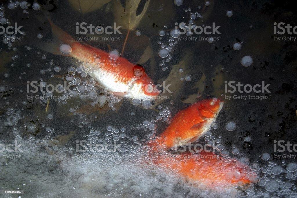 Goldfish dead in frozen pond stock photo