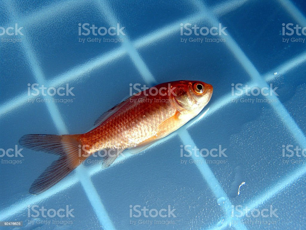 Goldfish, Dead royalty-free stock photo