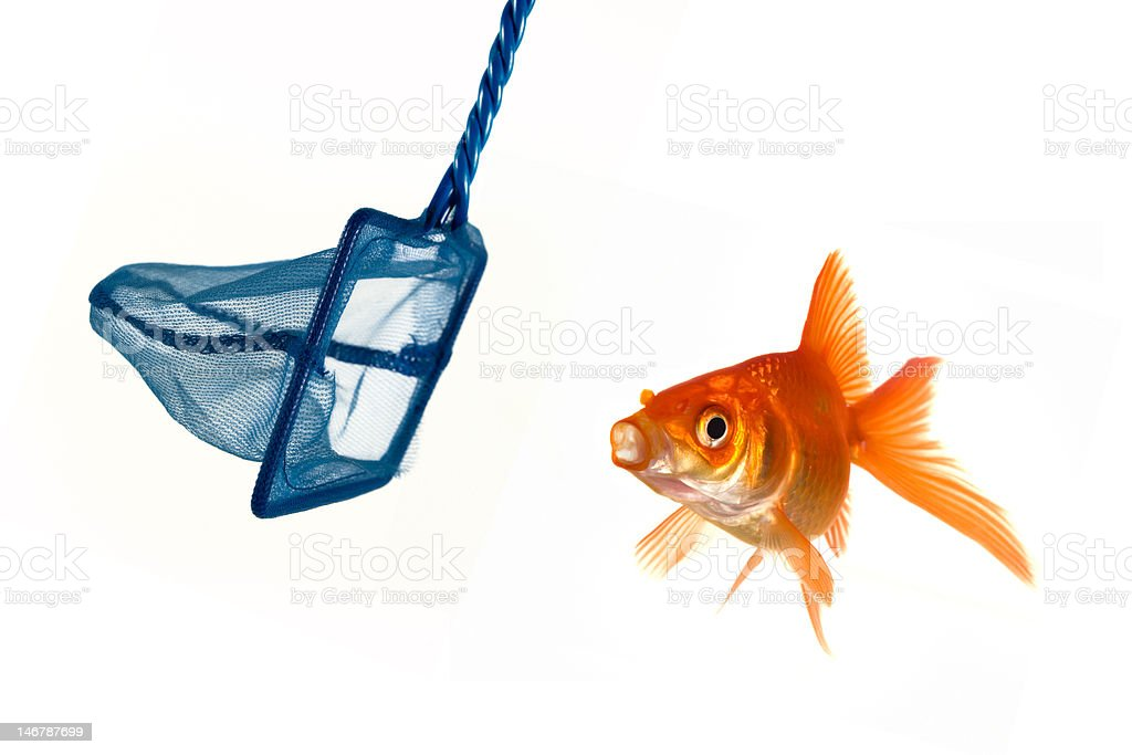 Goldfish escape royalty-free stock photo