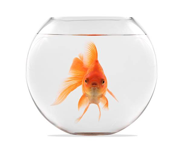 Goldfish floating in glass sphere and on a white background stock photo